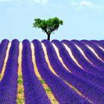 Γάμος με Λεβάντες (Lavender Wedding)