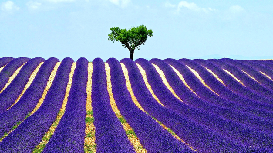 Fields_Lavandula_Scenery_435695