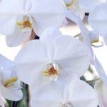 Phalaenopsis Care Tips