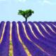 Fields_Lavandula_Scenery_435695