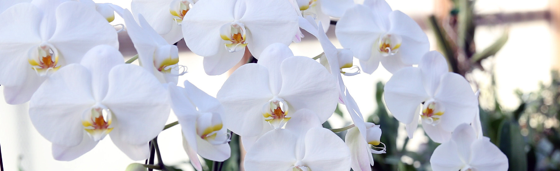 Phalaenopsis Care Tips