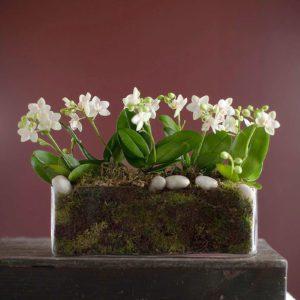 Ορχιδέα Phalaeopsis