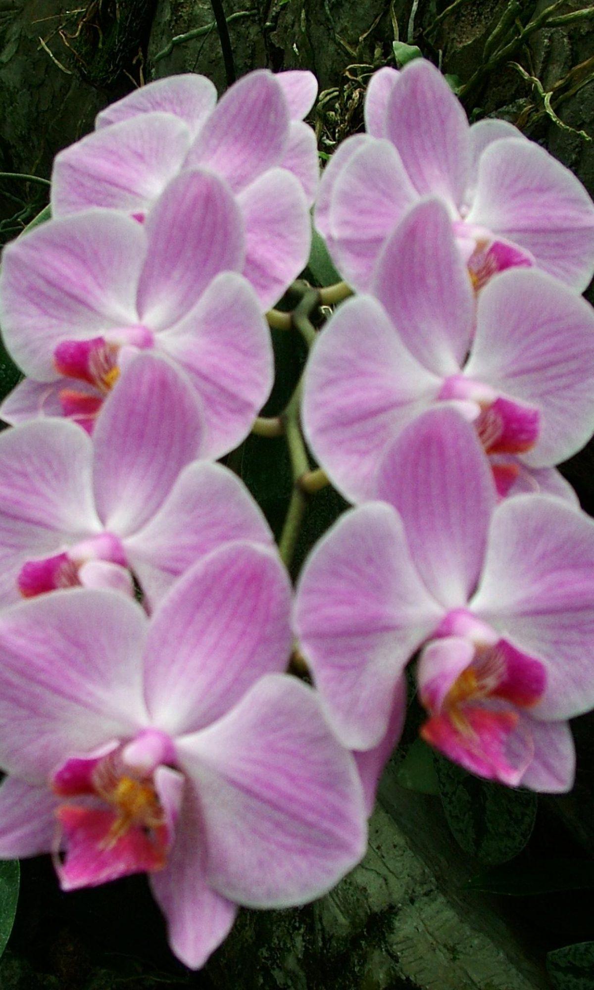 phalaenopsis_pink_